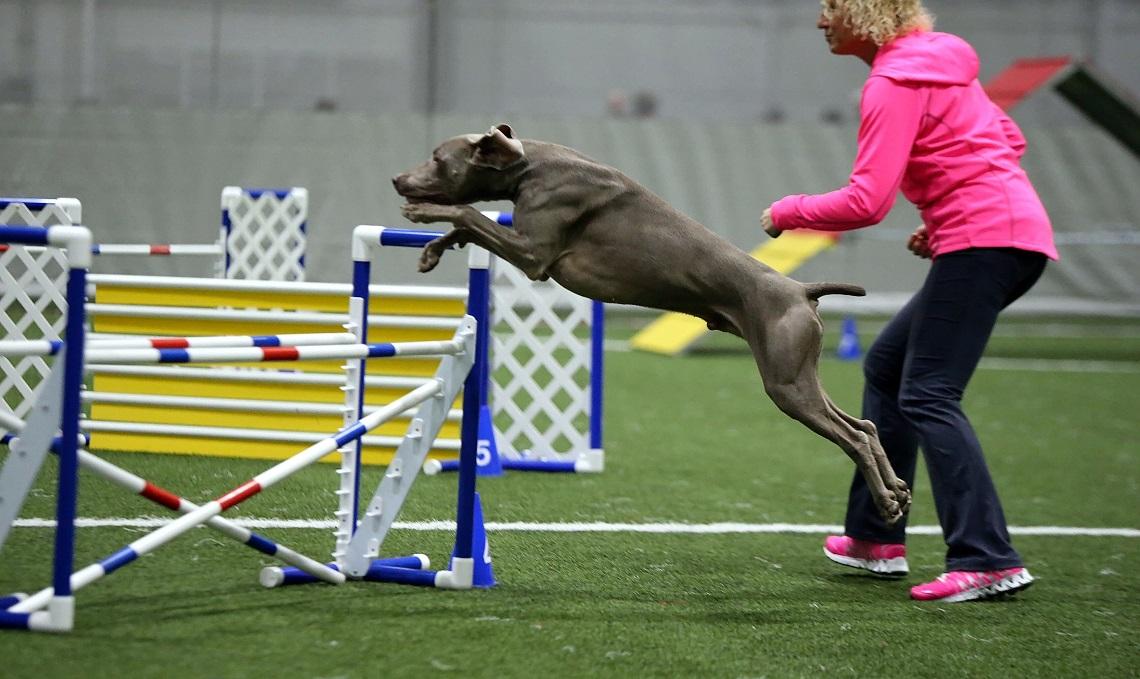 weimaraner jump!